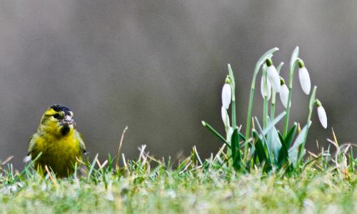 schneegloeckchen zeisig beitrga Neuer Stern im Sauerland – Naturpark Sauerland Rothaargebirge