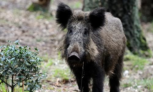 """wildschwein dsc3696b """"Nur die Liebe zählt"""" – Aus dem Liebesleben der Wildtiere"""