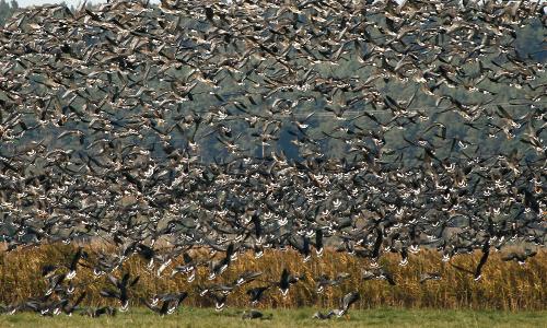 zuviel 500x300 Rückkehrer   Vogelexkursionen im März