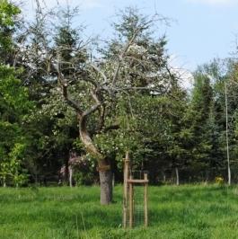 Baumblüte auf der Streubstwiese (NaturparkZentrum Westhavelland)