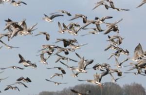 Vogelzug (Naturpark Westhavelland)
