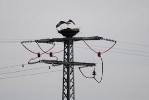 Hortsbezug Fischadler 2015 (Naturpark Westhavelland)