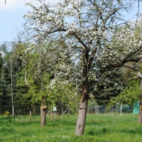 Obstbaum_NP Archiv