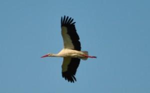 Storch im Flug / Naturpark Westhavelland