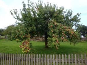 Apfelbaum_Go